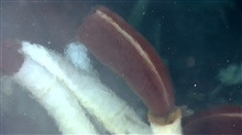Closeup of a Riftia tube worm's red gas exchange or 'plume' extending from itstube. The blurring to the left and right is caused by the vent fluids activelymixing with the seawater.