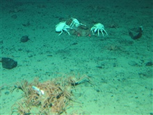 A group of crabs known by some as a cast of crabs, feeding on a dead fish.White galatheid crabs are seen in a small cast a bit farther away from themain grouping.