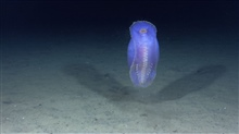 A beautiful purple pelagic sea cucumber.