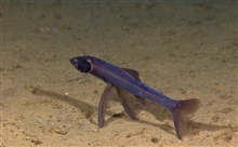 Tripod fish  (chlorophthalmid tripod fish) observed during OKEANOS EXPLORERshakedown cruise.