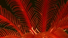 A close look at the red arms of a sea lily living at 516 meters depth.
