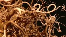 A giant basket star with an intricate network of bifurcating legs is imaged at555 meters depth.