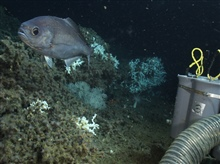 Hyperoglyphe perciformis (barrel fish) in Lophelia reef habitat. Collectioncontainers on Jason's basket are seen on right.