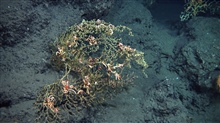 Paramuricea coral with sickly looking brittle stars in the vicinity of Deepwater Horizon.