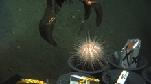 Manipulator arm of JASON II ROV drops sea urchin into sample tube.  Wonder if itever dropped in.