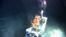 A protesting red crab (Chaceon quinquedens) being dropped into a sample box bythe manipulator arm of the JASON II ROV.