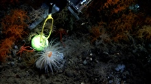 The manipulator arm of the JASON II ROV sampling the black coral speciesLeiopathes glaberrima.