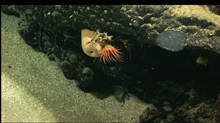 Large orange anemone next to large sponge with unidentified gray fauna. Dive 15.
