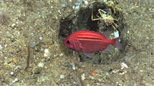 Small red and white striped fish - looks like a squirrelfish that is usuallyfound in shallow water coral reef environments. Note the spike spider crab inthe depression.