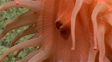 A peach-colored anemone with its mouth puckered up.
