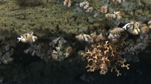 Cup corals, Lophelia pertusa, and whitish gray sponges on a canyon wall.