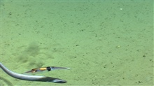 A large squid and a cutthroat eel swimming side by side.  Which is prey andwhich is predator?