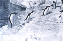 Penguins jumping onto the ice-foot.In:  Scott's Last Expedition ...., 1913.  Dodd, Mead, and Company.  New York.Volume II.  Page 64. Library Call No. G850 1910 .S35 1913 .