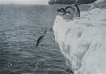Penguins Diving.In:  Scott's Last Expedition ...., 1913.  Dodd, Mead, and Company.  New York.Volume II.  Page 108. Library Call No. G850 1910 .S35 1913 .