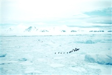Adelie penquins on the march across an icy landscape