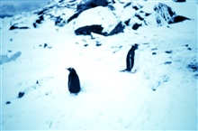 Penguins at Signy Island
