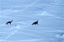 Emperor penguins tobogganing over the snow.