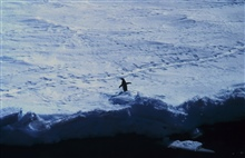 Adelie penguin on the sea ice