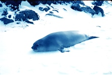 An elephant seal at Admiralty Bay, South Shetland Islands