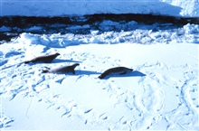 Seals on the ice in Meek Channel - note flipper marks in the snow.