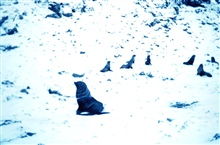 Sea lions at Cape Geddes, Laurie Island, South Orkney Islands.60 42 S Latitude 044 35 W Longitude.