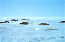 Weddell Seals hauled out on the ice getting ready to give birth.