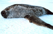 A mother Weddell seal and her pup