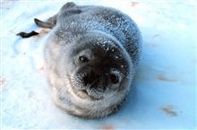 Complete trust - a baby Weddell seal