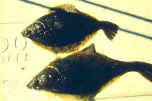 The introduction of toxins into the marine environment have drastic effects onthe organisms that live there. This image shows a normal rock sole top anda normal English sole, bottom. Compare with some of the images that follow.
