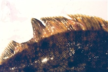 The introduction of toxins into the marine environment have drastic effects onthe organisms that live there. This image shows a rock sole with fin erosion.
