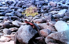 Red and black iguana on a rock