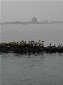 Pelicans line the breakwater at the harbor entrance to Callao, Peru.  Observedfrom NOAA Ship McARTHUR while entering Callao Harbor during STAR 2000 project.