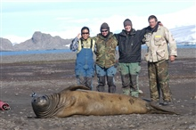 Satellite transmitter placed on head of cow elephant seal.