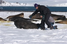 Preparing elephant seal cow for placement of satellite transmitter