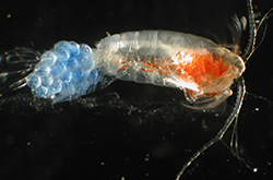 Copepods Amphipods Isopods